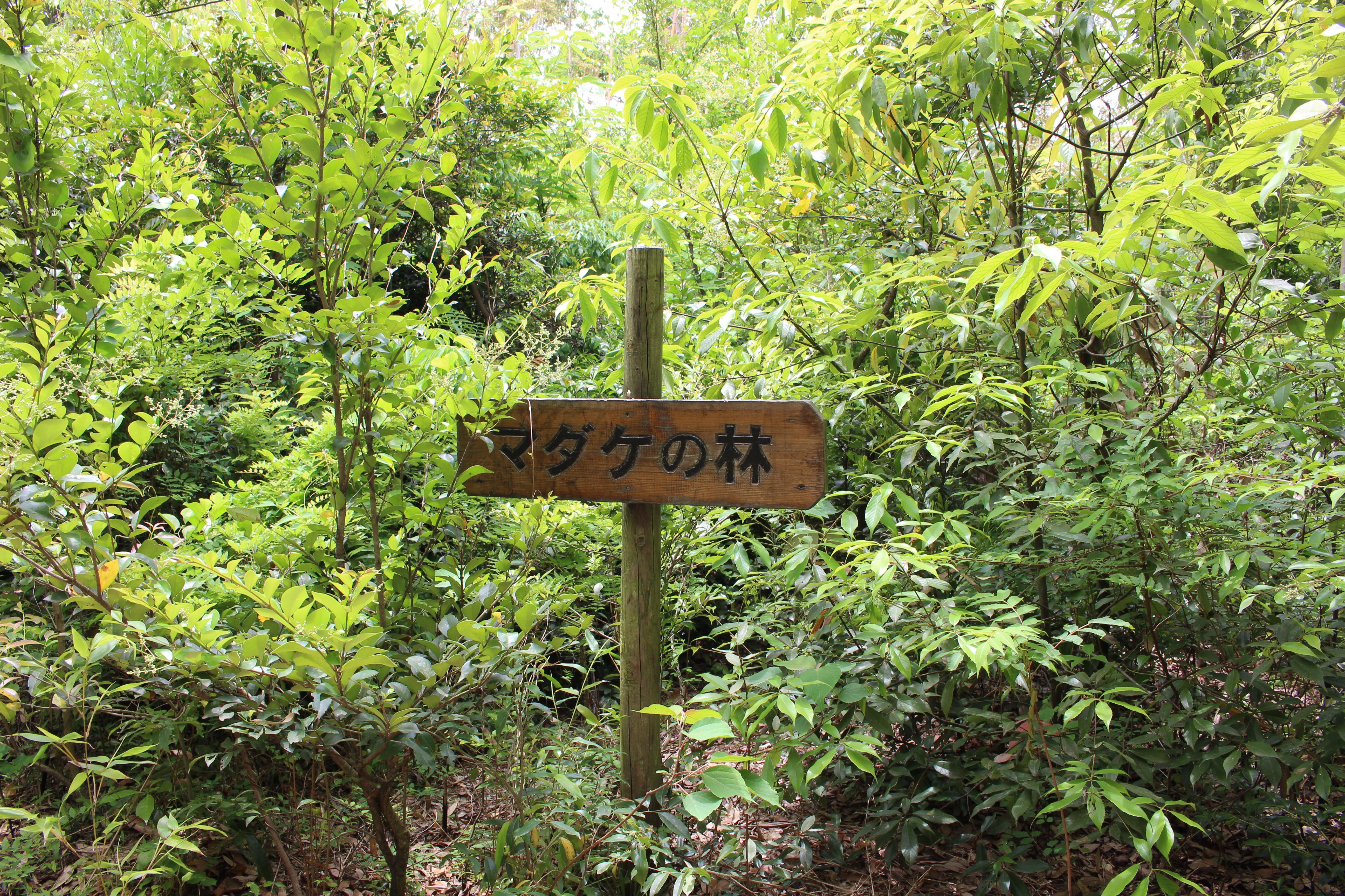 マダケの林